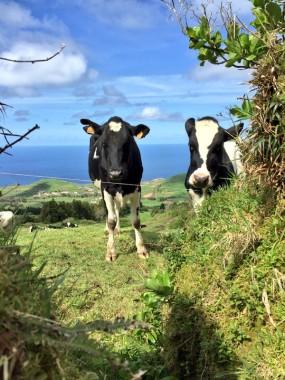 Azores Cows beef Sao Miguel